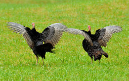 Turkeys spreading their feathers and strutting. Wild turkeys spreading their wings Royalty Free Stock Photography