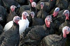 Turkeys Three. A flock of black Turkeys with one white Turkey Royalty Free Stock Images