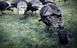 Turkeys. Turkey flock enjoying a  sunflower seeds dinner Royalty Free Stock Image