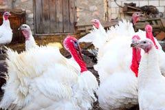 Turkeys. Walking in the barnyard Stock Photography