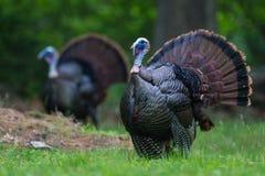 2 turkeys Royalty Free Stock Photography