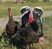 Turkeys Royalty Free Stock Images