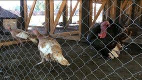 Turkeys walk behind bars in the henhouse on farmyard. Close up stock footage