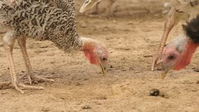 Turkeys in the barnyard. Turkeys are walking in a rural farmyard. Poultry in the village stock footage
