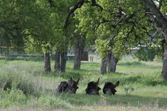 Turkeys. Wild turkeys in meadow springtime toms Royalty Free Stock Photo