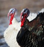 Turkeys in winter field Royalty Free Stock Images