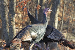 Turkeys in the Woods Stock Photo