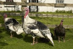 Turkeys43 Royalty Free Stock Photo