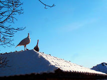 Turkies on the roof. Funny turkies resting on roof, Bulgaria Royalty Free Stock Photos