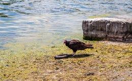 Turkiet gam nära den döda ålen vid vatten Royaltyfria Bilder