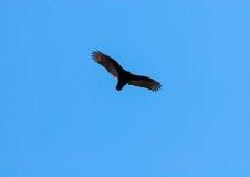 Turkiet gam som skjuta i höjden med utsträckta vingar på klar blå himmel Royaltyfri Foto
