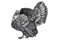 Turkiet illustration, teckning, gravyr, linje konst som är realistisk Royaltyfri Illustrationer