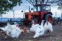 Turkiet och hönor i gård Royaltyfri Bild