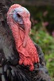 Turkiet stående Royaltyfri Fotografi