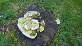 Turkiet svanssvampar ut ur trädstubbe royaltyfri fotografi