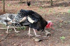 Turkije die het voedsel op de grondgrond vinden Het is een groot hoofdzakelijk geacclimatiseerd vederwild stock foto