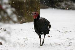 Turkije gaat naar sneeuw Stock Foto's