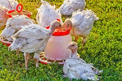 Turkije-kuikens dichtbij de trog op een groen gazon Royalty-vrije Stock Fotografie