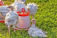 Turkije-kuikens dichtbij de trog op een groen gazon, close-up Stock Afbeelding