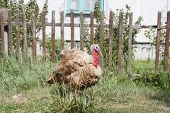 Turkije op de binnenplaats Stock Foto