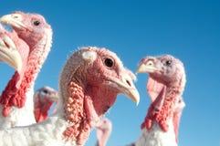 Turkije op een landbouwbedrijf Stock Afbeeldingen