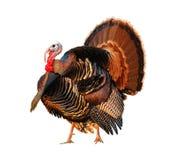 Turkije Tom die zijn materiaal strutting royalty-vrije stock foto's