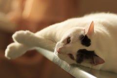 Turkish范说谎在桌上的Cat 库存照片