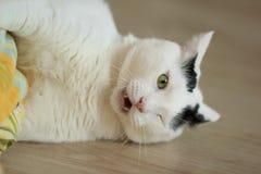 Turkish范Cat使用 库存照片