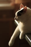 Turkish范Cat变冷 免版税库存照片