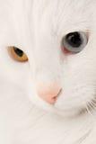 turkish макроса кота angora стоковое изображение rf