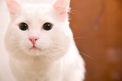 Turkish angora Royalty Free Stock Image