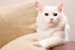 Turkish angora Royalty Free Stock Images