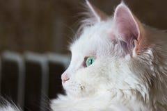 Turkish Angora. Beautiful white turkish cat with  green eyes Stock Images