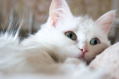 Turkish Angora Stock Images