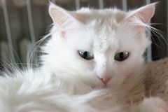 Turkish Angora Royalty Free Stock Photos