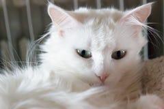 Turkish Angora. Beautiful white turkish cat with  green eyes Royalty Free Stock Photos