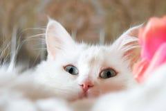 Turkish Angora. Beautiful white turkish cat with  green eyes Stock Photo