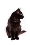 Turkish Angora black cat with long hair. Looking to the side isolated on white background stock image