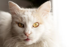 Turkish angora cat Stock Images