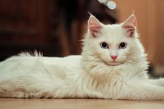 Turkish angora cat stock photography