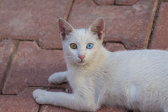 Turkish Angora Stock Photo