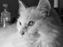 Turkish Angora , cat royalty free stock images
