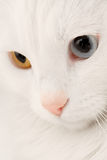 Turkish Angora Cat Macro Royalty Free Stock Image