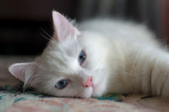 Turkish Angora Cat Stock Photo