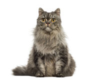 Turkish Angora sitting and looking away. Isolated on white Royalty Free Stock Images