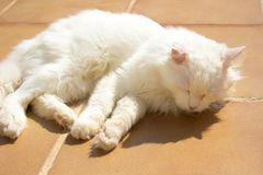 Turkish Angora. White cat. Royalty Free Stock Image