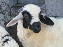 Turkish baby sheep. In front of ancient castle wall royalty free stock photos