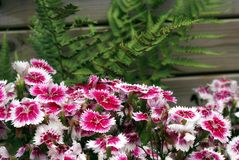 Turkish Carnation Flower Bed Stock Photography