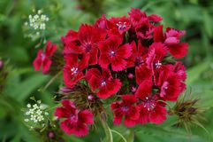 Turkish carnation flower garden stock photography