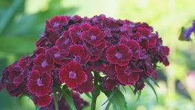 Turkish carnation maroon on a natural background. Beautiful red flowers. Turkish carnation maroon on a natural background. Dianthus barbatus. Beautiful red stock video footage